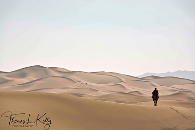 Camels crossing sand dunes in Gobi. Mongolia.