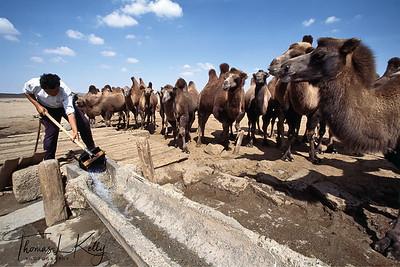 Gobi Camels.