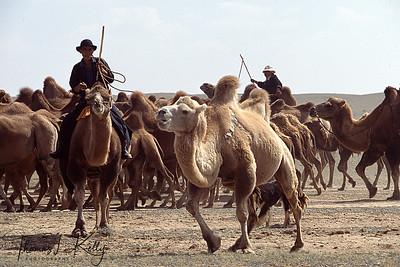 Camels herder of Gobi desert, Mongolia.