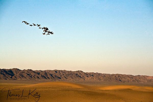 Flock of cranes fly over Gobi desert. Mongolia.