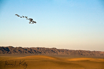 Flock of cranes fly over Gobi desert. Mongolia.