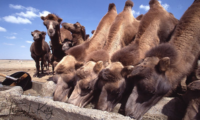 Camels drinking from stone container. Gobi, Mongolia.
