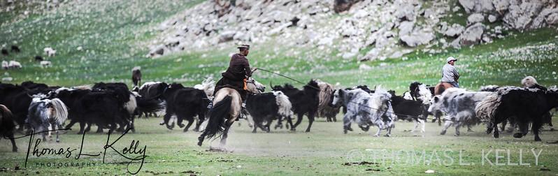 Mongol Herder
