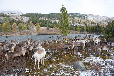 Reindeer in West Taiga, Northern Mongolia.