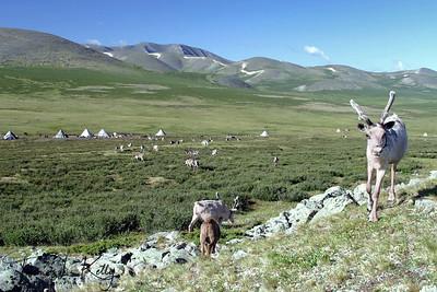 Reindeer graze beside teepee. West Taiga, Mongolia.