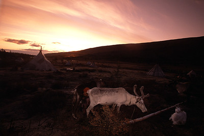 Reindeers at sunset in West Taiga, Mongolia.