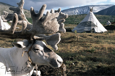 Reindeer rests beisde teepee settlement in West Taiga, Mongolia.