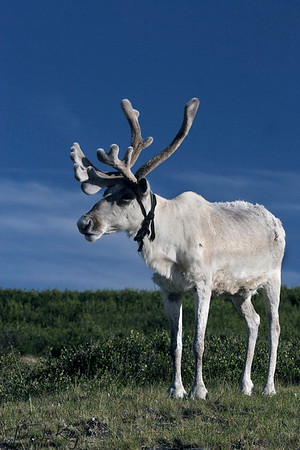 Reindeer in West Taiga, Mongolia.