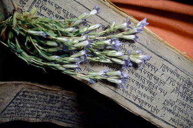 During the 7 day long Potenization Ceremony, medicinal Plants, are laid over sacred texts which is believed to contribute to the potenization of them. Chang Tang Nyee, Ladakh, India.