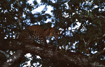 Leopards are most prevalent on the peripheries of the park. Chitwan National Park, Chitwan, Nepal.
