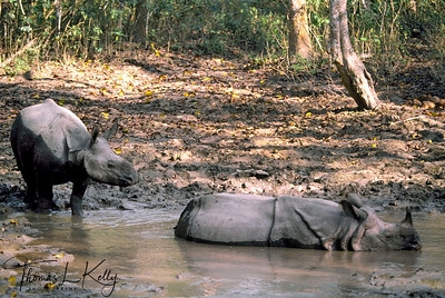 One horned Rhinoceros. Chitwan National Park, Chitwan, Nepal.