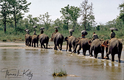 Elephant caravan crossing Rapti river. Chitwan National Park, Chitwan, Nepal.