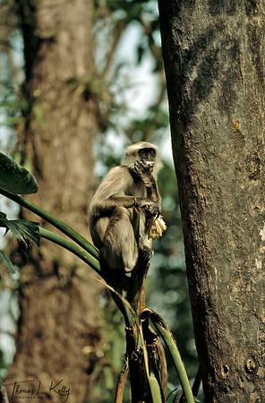 Langur enjoys his lunch in the treetop. Chitwan National Park, Chitwan, Nepal.