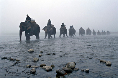 Elephant caravan crossing Rapti river. Chitwan National Park, Chitwan, Nepal.