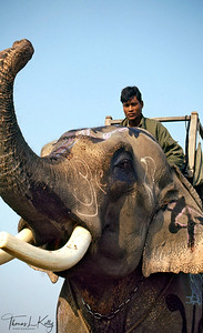 Mahouts, the elephant men can master creatures standing 10 feet tall, weighing up to 5 tons and possessing the power of a bulldozer is enduring testimony to man's primitive abilities to bend the forces of nature to his will. Chitwan National Park, Chitwan, Nepal.