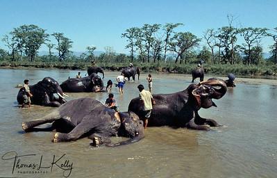 Elephants bathing at Rapti river. Chitwan National Park, Chitwan, Nepal.