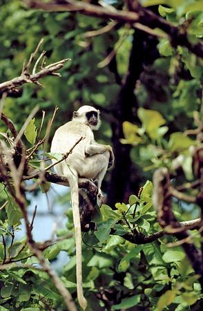Langur. Chitwan National Park, Chitwan, Nepal.