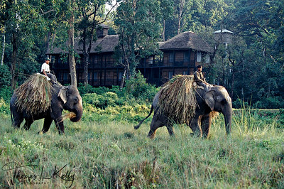 Elephants carrying fodder.  Chitwan National Park, Chitwan, Nepal.