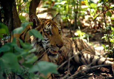 "The ""King of the Jungle"" is the Bengal Tiger.  Chitwan National Park, Chitwan, Nepal."