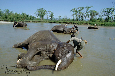 Elephants bathing at Rapti river. Chitwan National Park, Chitwan, Nepal.