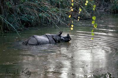 One horned Rhinoceros. Chitwan National Park, Chitwan, Nepal.