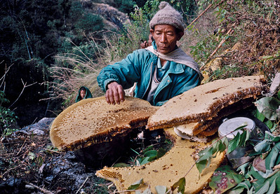 Honey Hunters of Nepal.  Chimro cliff, Siklis village. Western Nepal.