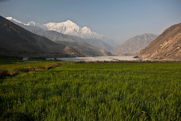 Wheat field against Nilgiri Himal backdrop. Kali Gandaki, Mustang, Nepal.