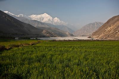 Wheat field against Nilgiri Himal backdrop. Kali Gandaki, Mustang, Nepal.