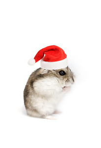Dwarf hamster with christmas red hat on white background