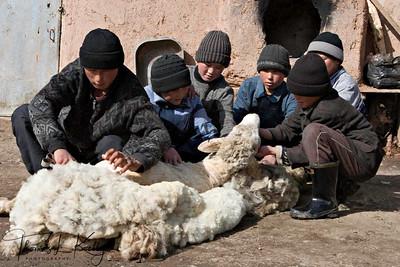 Kyrgyz children enjoy helping their parent in shearing sheep. Kyrgyz Republic.