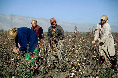 Women and girl-child, picking cottons in the Cotton field, the means of making a little money to buy food for the family. Kurgentubee, Tazikistan