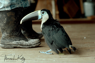 Mukuna often domisticate wild birds as pets.