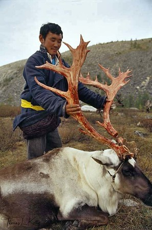Dukha (reindeer people) man cuts off the reindeer horns for sale. Their entire existence is based around the reindeer, which provide milk, skins for clothes, transport and occasionally, meat West Taiga, Northern Mongolia