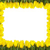 A frame of bright yellow tulips on white background