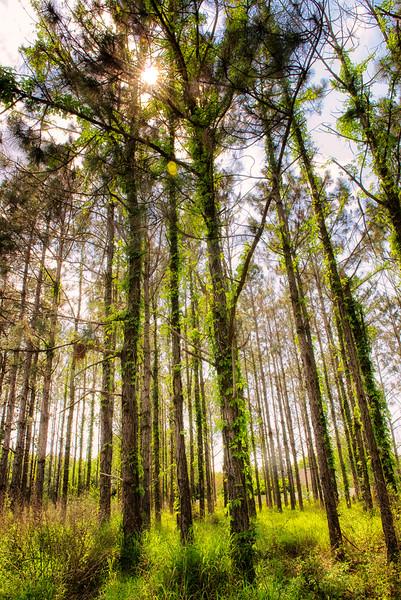 "ETC-3076  Sunlight Through the Tree Tops"""