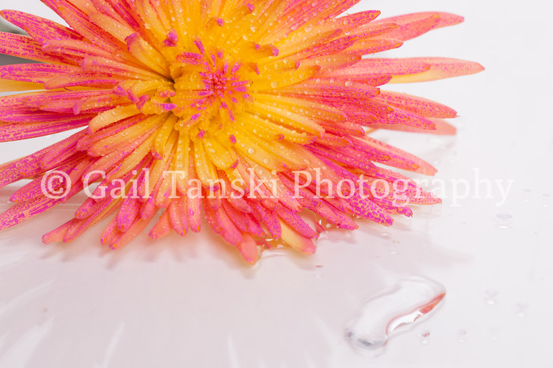 Chrysanthemum  and Water Beads
