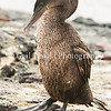 Flightless Cormorant