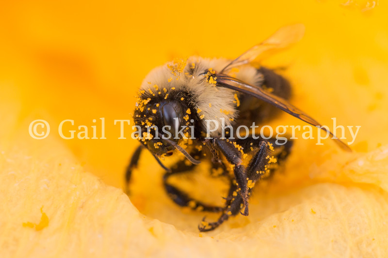 Bumble Bee and Pollen