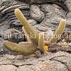 Cactus in Lava.