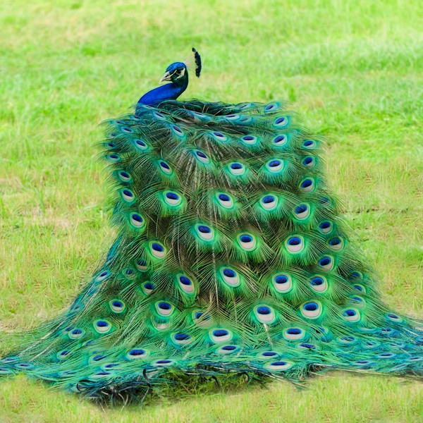 """ETC-3354a  """"Peacock Swirl - Natural"""""""