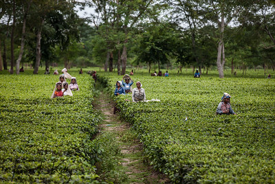 Tea Garden is Dibrugarh.