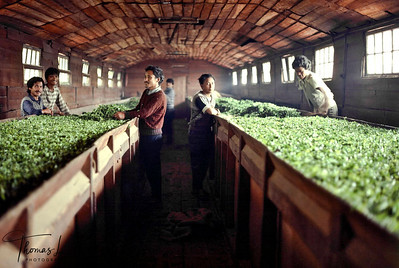Darjeeling, the name itself is synonymous with the world's finest tea, the cup that cheers. Workers drying plucked tea leaves. Darjeeling, India.