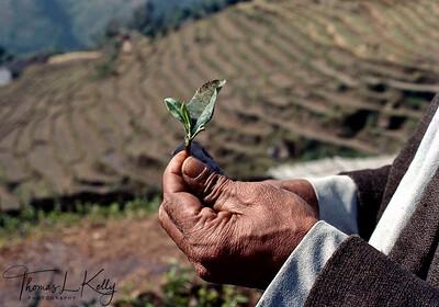 Seedlings of Tea plants. Darjeeling, India.