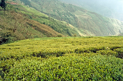 Darjeeling, the name itself is synonymous with the world's finest tea, the cup that cheers.  Tea state in Darjeeling, India