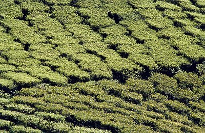 Tea state in Darjeeling, India.