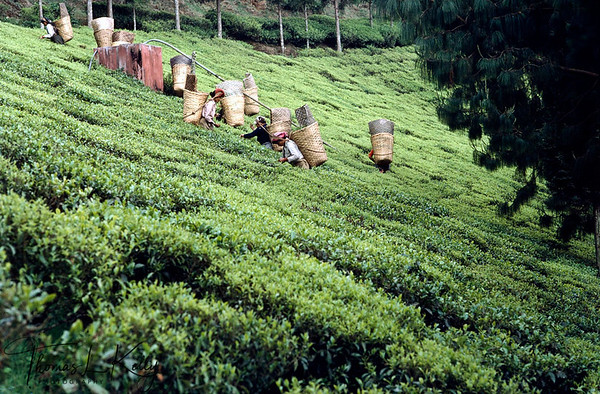 Tea State of Darjeeling, India.