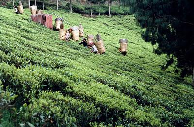 Tea State of Darjeeling, India.