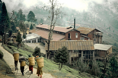 All the sisters, mothers and aunties bearing doko's (straw baskets) on their backs for the day's plucking of the Autumnal flush. Darjeeling, India.