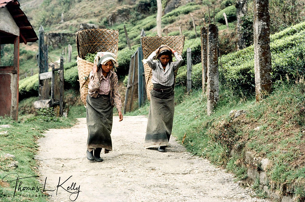 Women worker at Tea state carrying plucked tea leaves in hand woven bamboo basket called 'doko'. Darjeeling, India.
