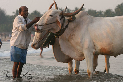 Washing bull at Baga beach.